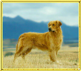 Darrowby Goldens